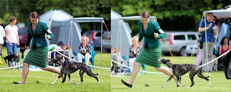 """Best Movement"" at Finnish Whippet Club Open Show 2017 under Mr. Espen Engh. Photo (c) Anna Szabo 2017, all rights reserved."
