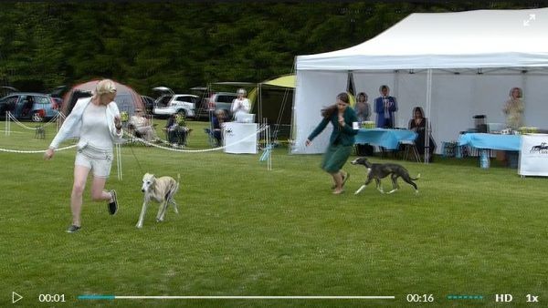 Video from BOB competition at Finnish Whippet Open Show 2017. (c) Anita Sandquist